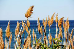 Seagrass by the shore. In Ogunquit Maine Royalty Free Stock Photography