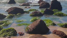 Seagrass in the water. Seagrass on rocks Royalty Free Stock Photos