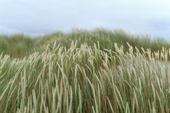 Seagrass. Waving in the wind in the dunes, shallow D.O.F Stock Photography