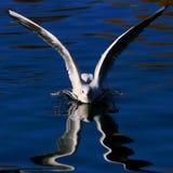seagul πετώντας στα ύψη Στοκ Φωτογραφία