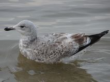 Seagul στο νερό σε Sopot Στοκ Εικόνες