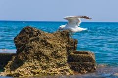 Seagul Fotografia Stock