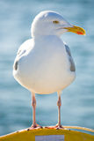 Seagul. A seagul sat on a life jacket Royalty Free Stock Photography