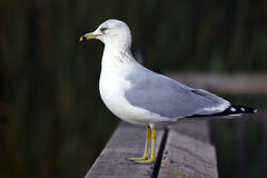 Seagul. Seating on the wooden fence, shallow focus Royalty Free Stock Photo
