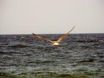 Seagul Foto de archivo libre de regalías