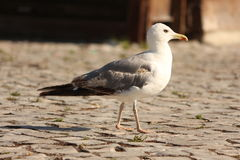Free Seagul Stock Photos - 67175723