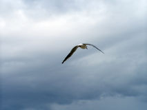 Free Seagul Stock Photography - 7707802