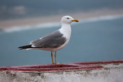 Free Seagul Stock Images - 84756094