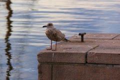 Seagul auf einem Dock Lizenzfreie Stockfotos