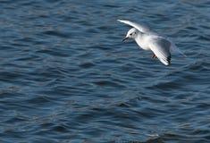 Seagul badning Royaltyfria Bilder