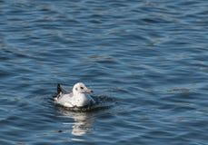 Seagul badning Arkivfoto