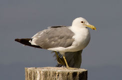 Seagul stock photos