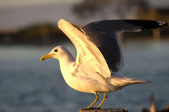 Seagul stock photo