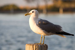Seagul. In the bayland pond during the sunset hours Stock Photos