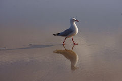 Seagull on beach. Single seagull on beach with water showing reflection and prints Royalty Free Stock Photo
