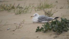 Seagul bird on the sand stock footage