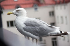 Seagul boven overzees stock afbeelding