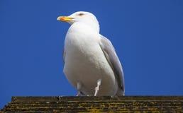 Seagul on the British Coast Royalty Free Stock Image