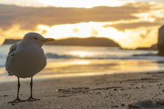 Seagul closeup standing in front of smiling sphinx rock at cathedral cove beach in hahei, coromandel, new zealand stock photography