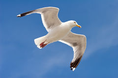 Seagul dans Howth Image stock