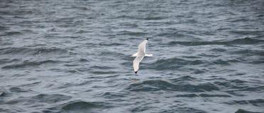 Seagul dans la baie de Tobermory Photo libre de droits