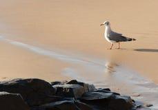 Seagul, das auf Strand durch einige Felsen geht Lizenzfreie Stockbilder