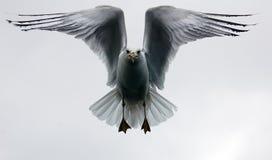 Seagul durante il volo fotografia stock libera da diritti