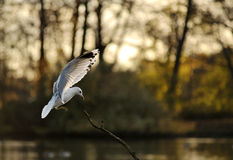 Seagul fling to a tree. Seagulls flying under sun light. with feather details beautiful feather stock images