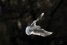 Seagul fling under sun light. Seagulls flying under sun light. with feather details beautiful feather stock photography
