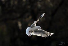 Seagul fling under sun light Stock Photography