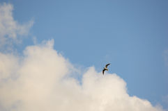 Seagul flying below the clouds in sky. Single seagul bird flying in a gliding form below white clouds in a blue sky with copy space Stock Photo
