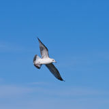 Seagul flying at the blue sky Stock Photos