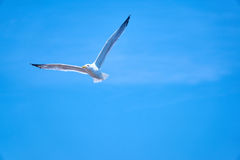 Seagul Royalty Free Stock Images