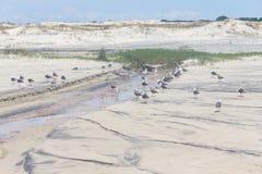 Seagul group at Mostardas beach Royalty Free Stock Image