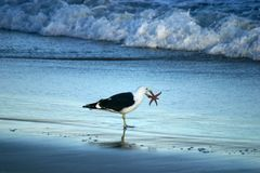 Seagul holding a starfish in it's beak. Stock Photos