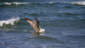Seagul i havet Arkivbilder