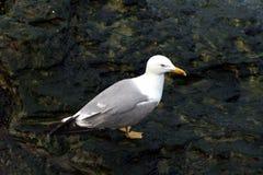 Seagul joven cerca del Mar Negro fotografía de archivo