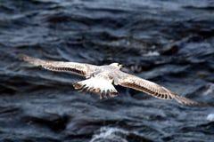 Seagul joven sobre el Mar Negro imagen de archivo libre de regalías