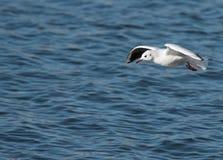 Seagul kąpanie Zdjęcie Royalty Free
