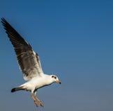 Seagul landing Stock Photography