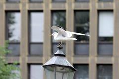 The seagul on the lantern head Royalty Free Stock Photo