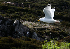 Seagul in midflight Royalty Free Stock Photos