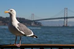 Seagul mit Oakland-Buchthängebrücke im Hintergrund in S Stockfotografie