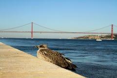 Seagul odpoczywa przed rzeka mostem (Ponte 25 De Abril, Portugalia,) Obrazy Stock