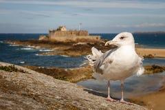 Seagul op kust van Bretagne, Frankrijk Stock Afbeeldingen