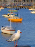 Seagul and sailboats Royalty Free Stock Images