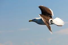 Seagul seaside bird on blue sky background Royalty Free Stock Photos