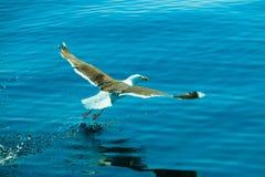 Seagul seaside bird flying above blue sky. Landing Stock Images