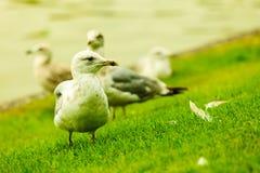 Seagul seaside bird on sea shore Royalty Free Stock Photo