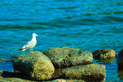 Seagul seaside bird sitting on stone at sea coast. Seagul seaside bird sitting on stone at the sea ocean shore blue water background stock photography